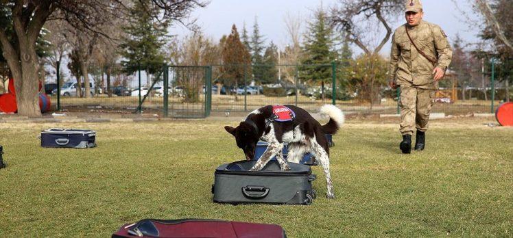 Yerli ırk köpekler Nevşehir'deki JAKEM'de eğitiliyor