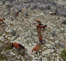 Murat Dağı'ndaki yılkı atlarının sayısı artıyor