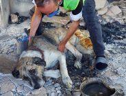 Manavgat'taki orman yangınından yaralı kurtulan 'Şanslı'ya şefkat eli