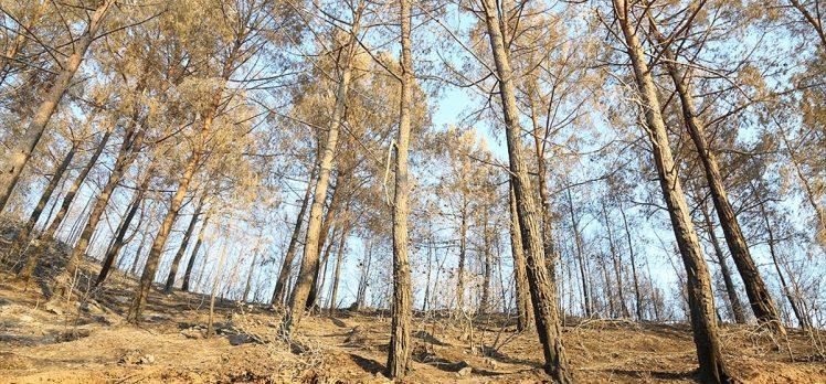 Yanan ormanlar için 'doğal yenilenme' önerisi