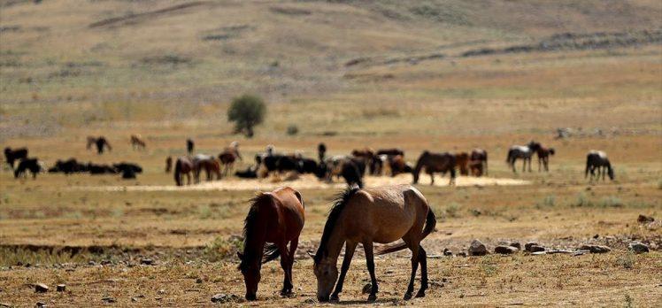 Antalya'daki yangın sonrası yılkı atları için ovaya tonlarca yem ve saman bırakıldı